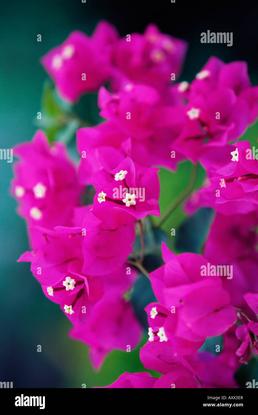Bougainvillea blooming, island of Martinique, Lesser Antilles, French West Indies, Caribbean, Central America - Stock Image