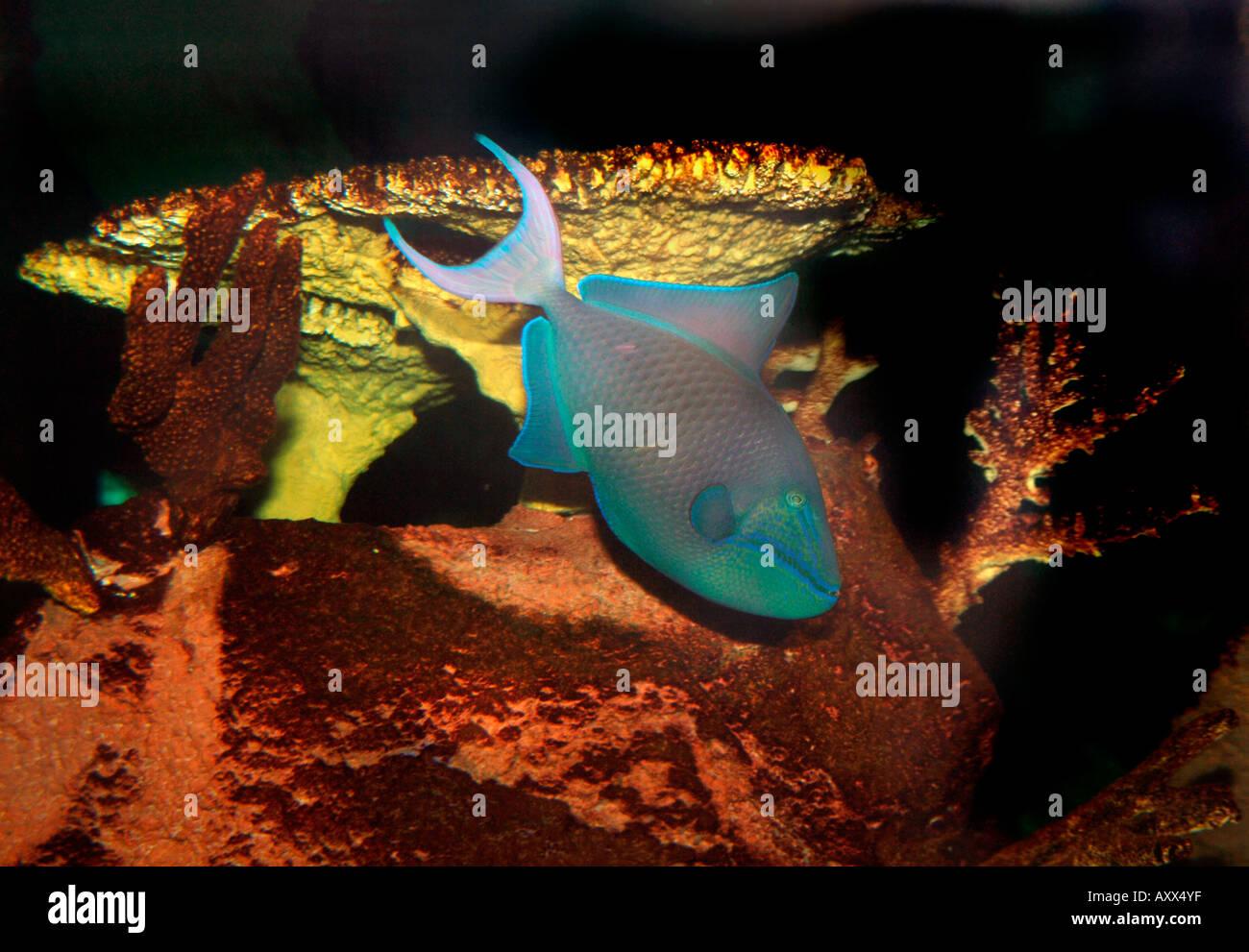 Niger Trigger Fish (Odonus niger) - Stock Image
