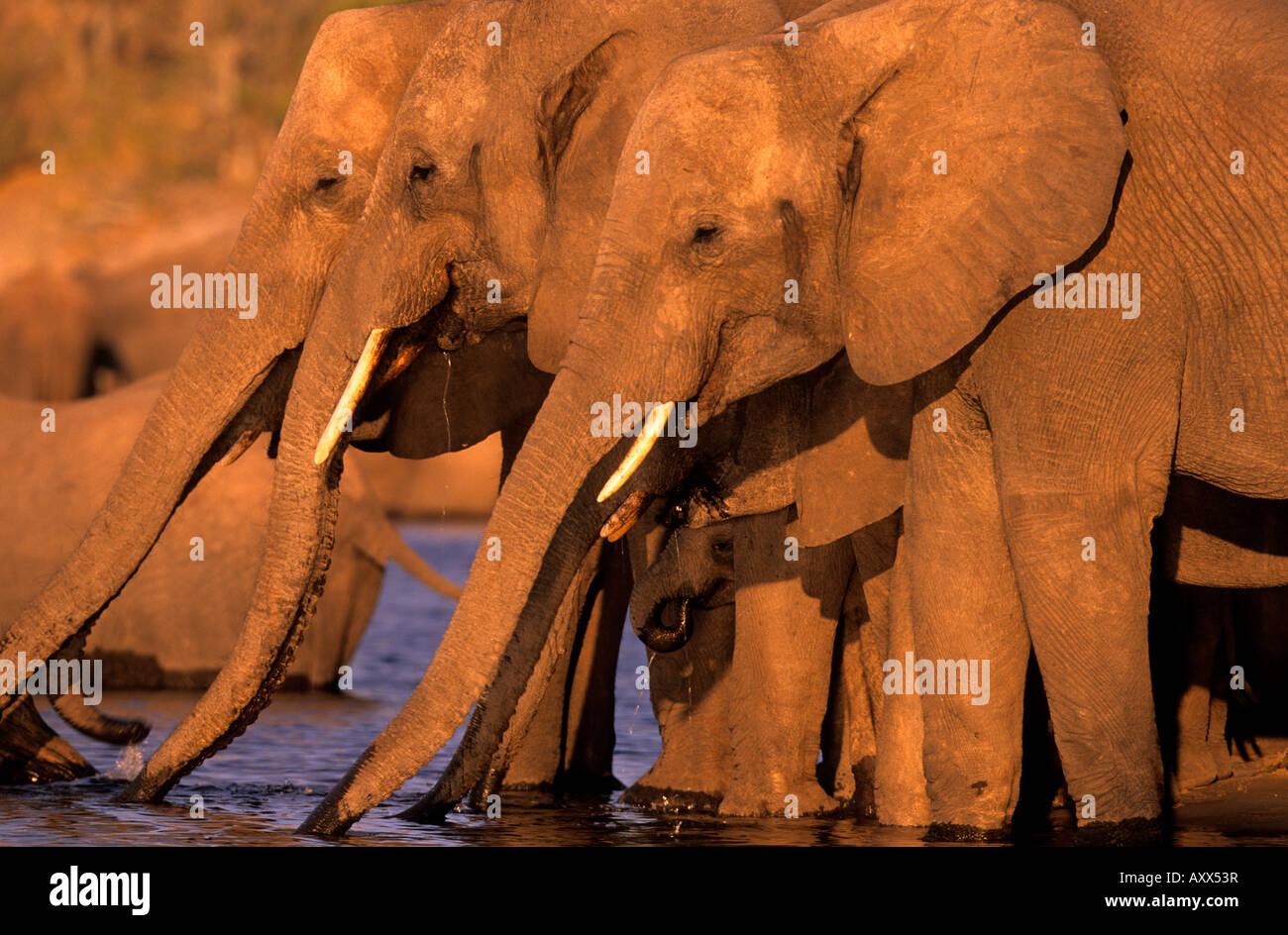 African Elephant, (Loxodonta africana), Chobe River, Chobe National Park, Botswana Stock Photo