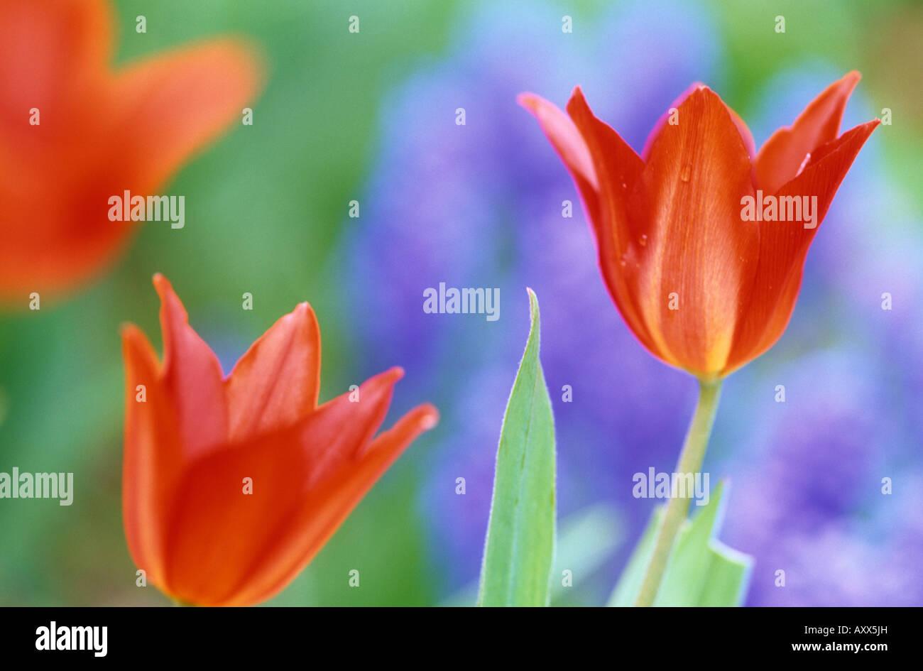 Tulip, (Tulipa spec), Bielefeld, NRW, Germany - Stock Image