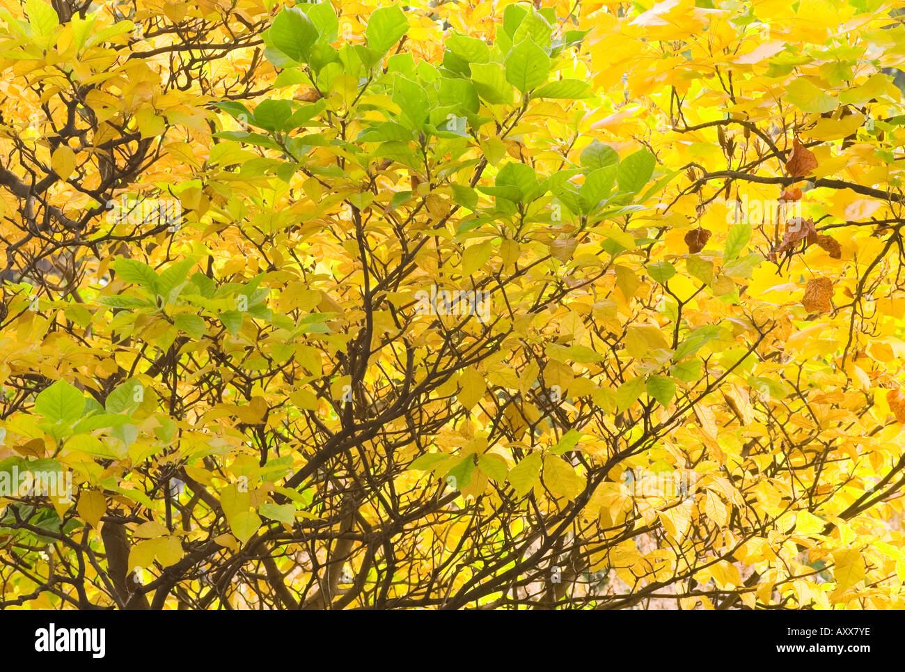 Magnolia Leaves Turning Yellow In Autumn Stock Photo 9674749 Alamy