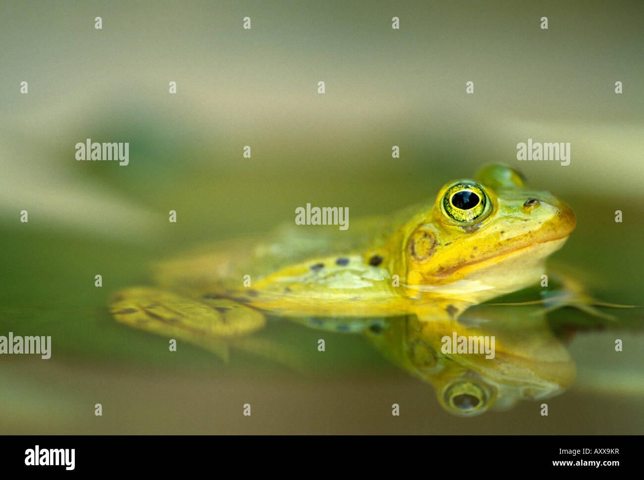 European Edible Frog, Rana esculenta, Bielefeld, NRW, Germany - Stock Image
