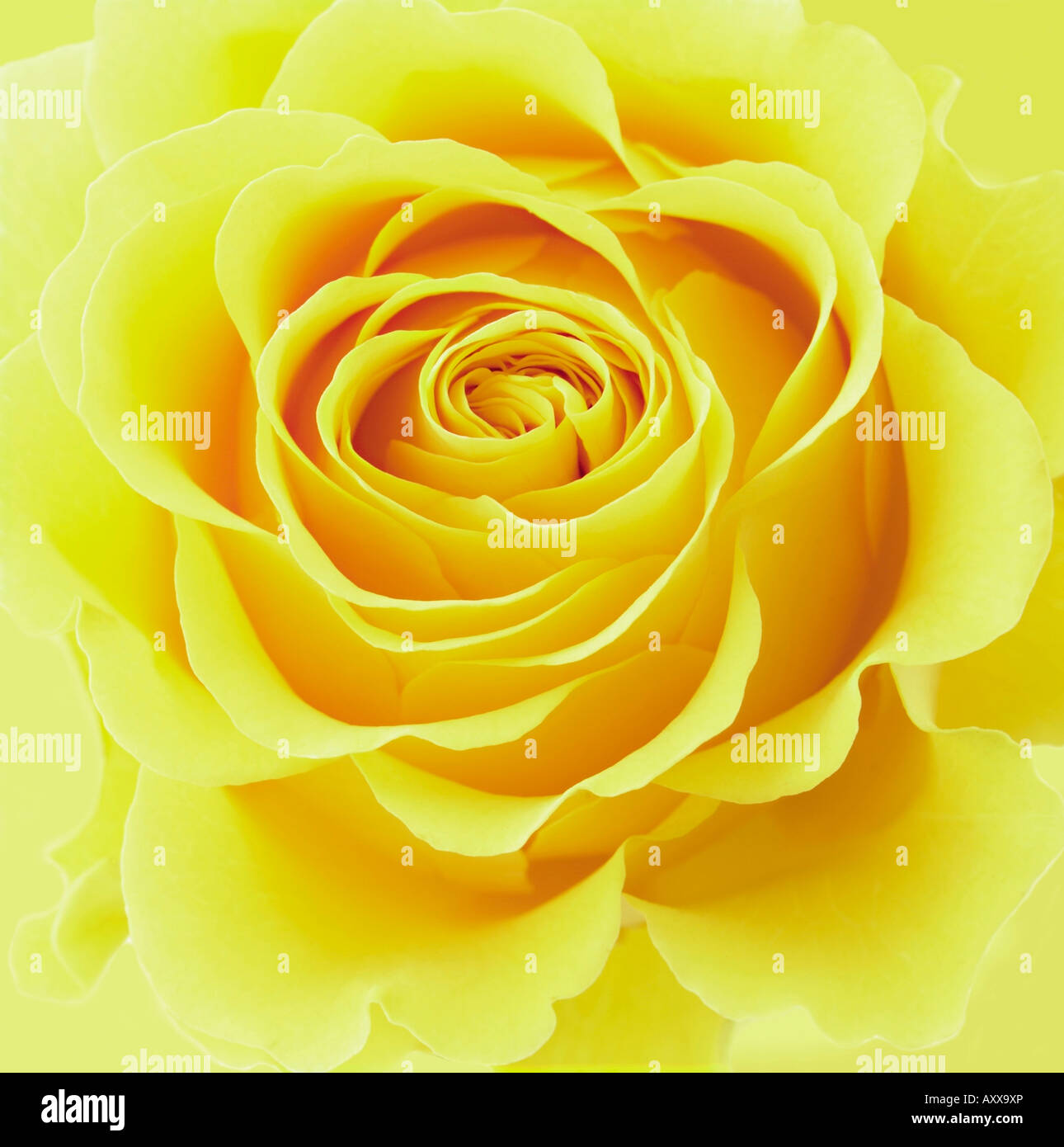 Flower Plant Rose Rosa Yellow Flower Close Up Stock Photo
