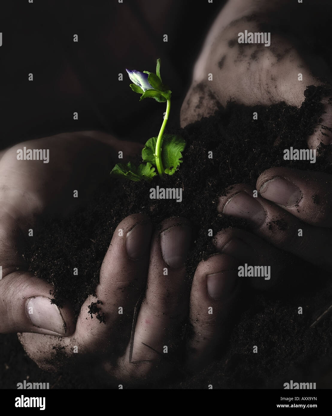 Plant Pansy, Viola wittrockiana, Green, Viola, wittrockiana Hand holding sprouting seedling - Stock Image