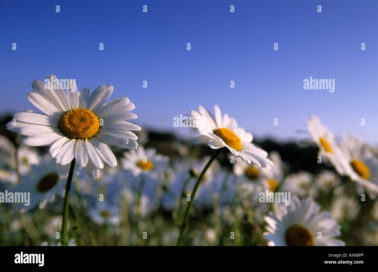 Daisy, Asteraceae, Hiller Moor, NRW, Germany - Stock Image