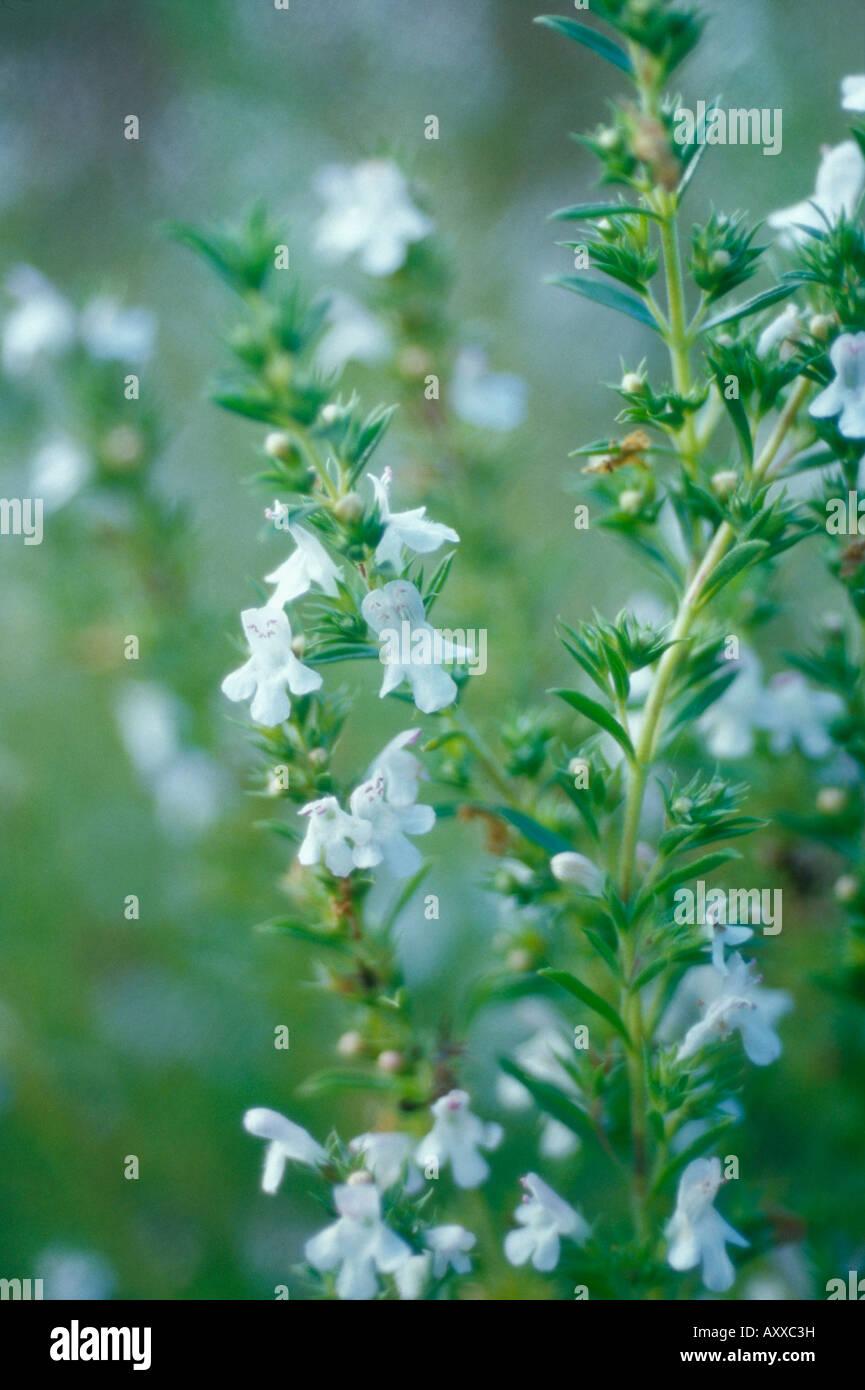 Savory, Summer savory, Summer, Satureia hortensis, White, Satureia, hortensis Stock Photo