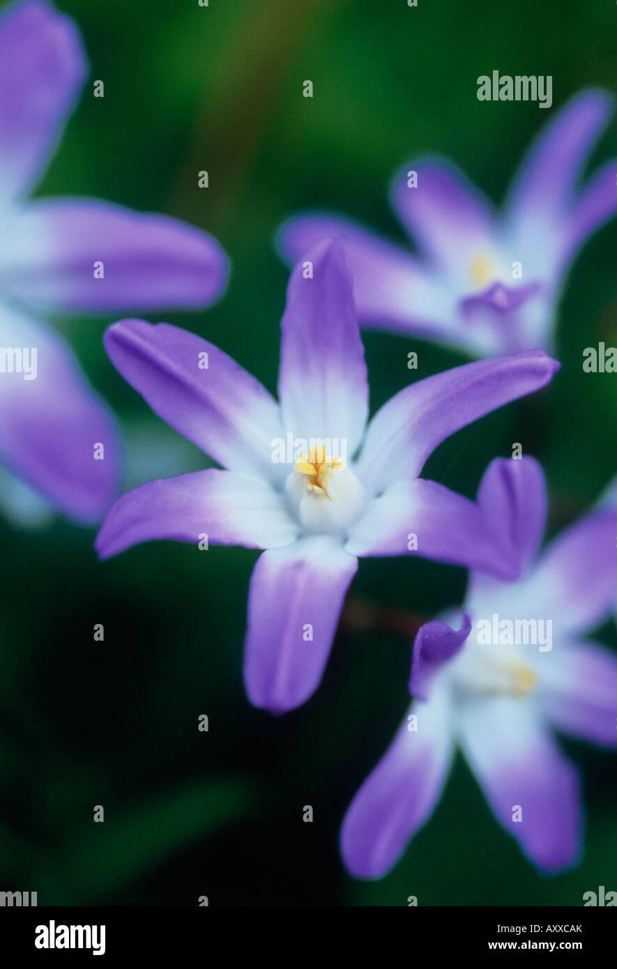 Glory-of-the-snow, Glory, of, the, snow, Chionodoxa, Purple, - Stock Image