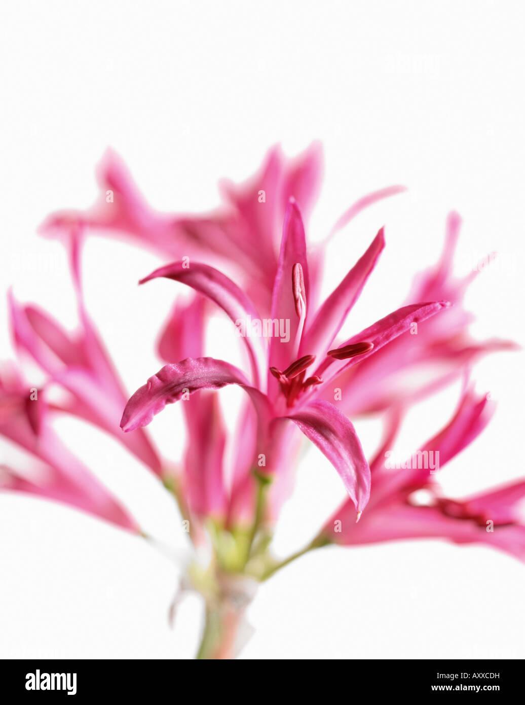 Nerine, Nerine bowdenii, Pink, Nerine, bowdenii - Stock Image
