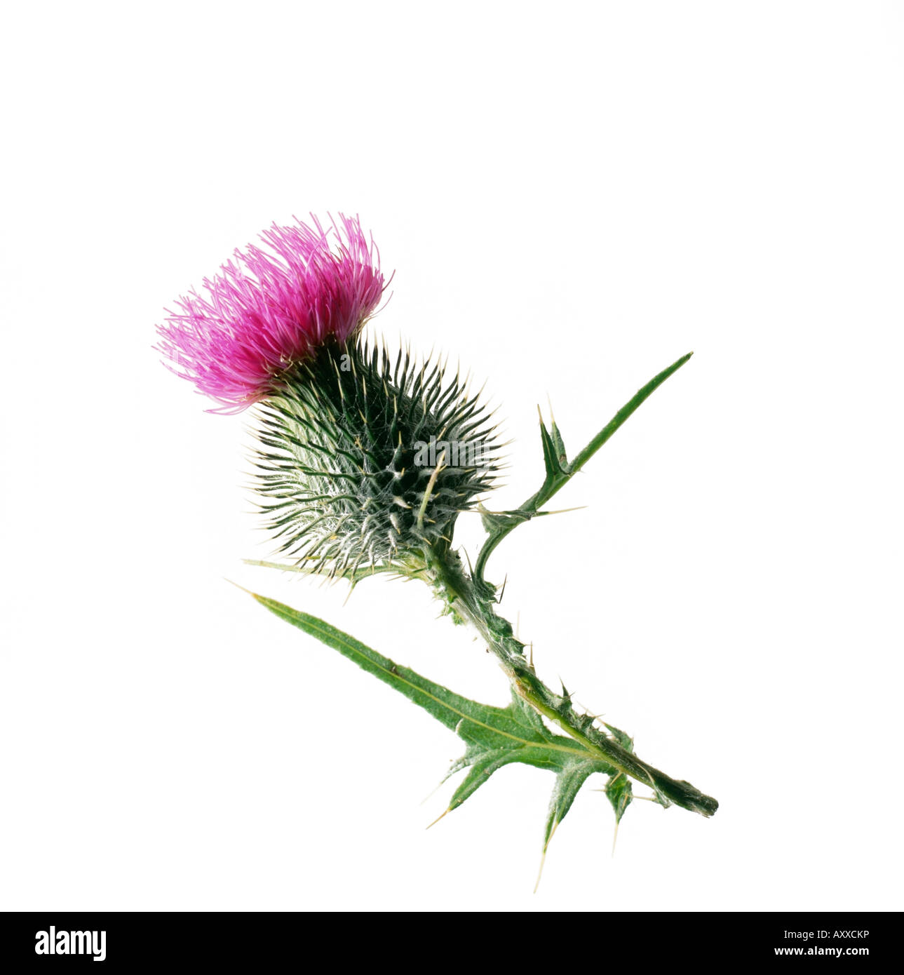 Cirsium vulgare, Scotch thistle, Purple flower on a stem against a white background. - Stock Image