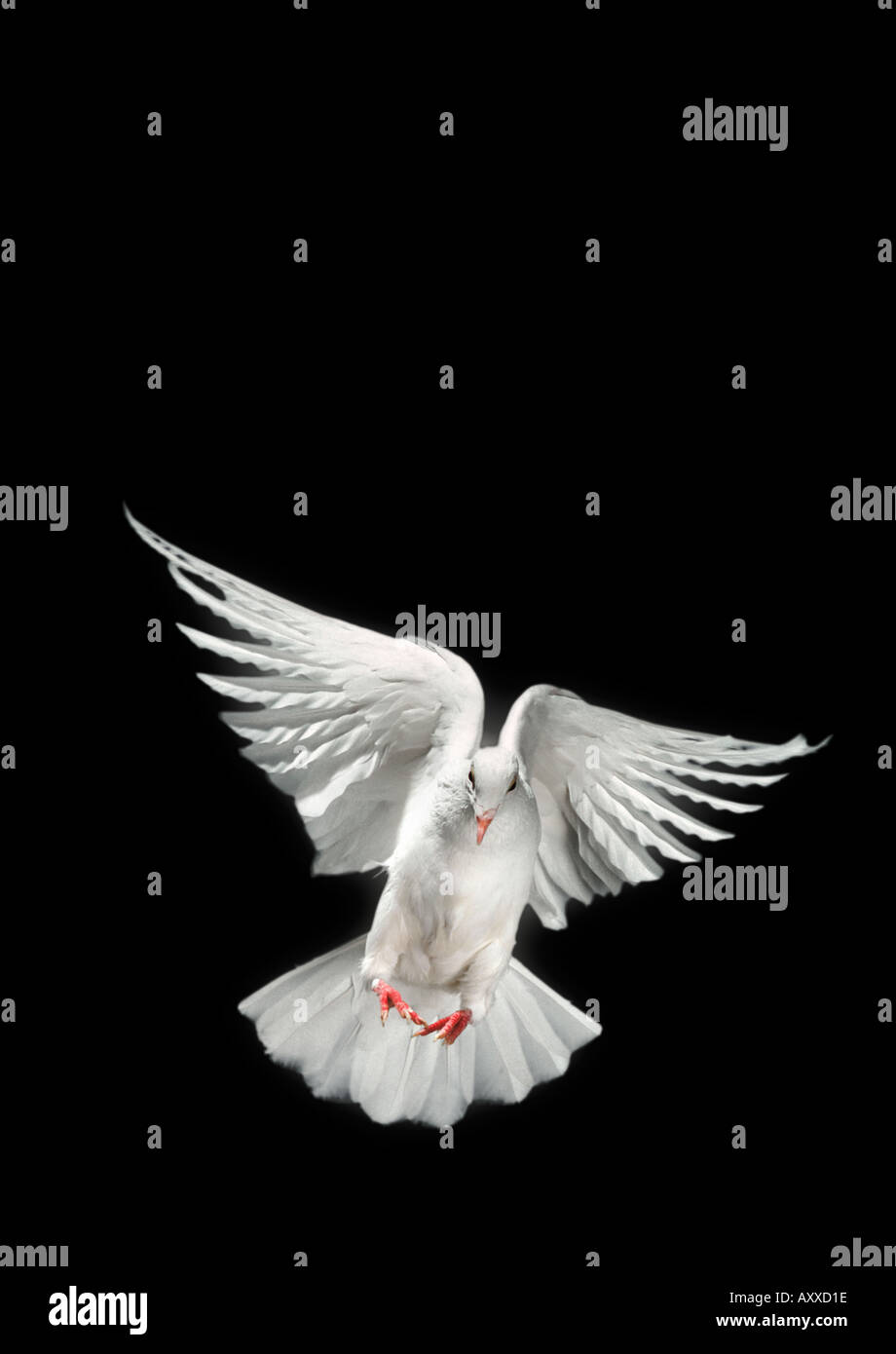 Dove - Stock Image