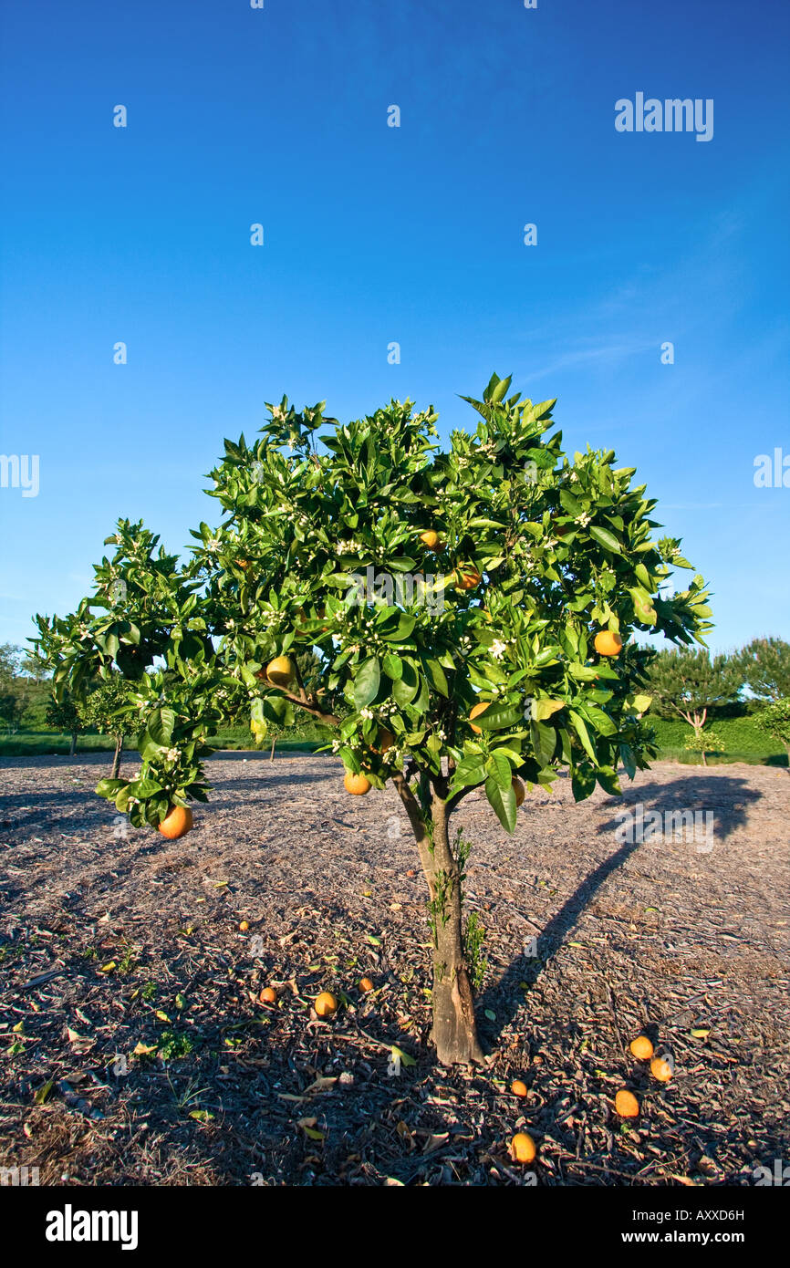 An Orange tree standing in a grove in Southern California casting a long shadow in the late afternoon sun Stock Photo