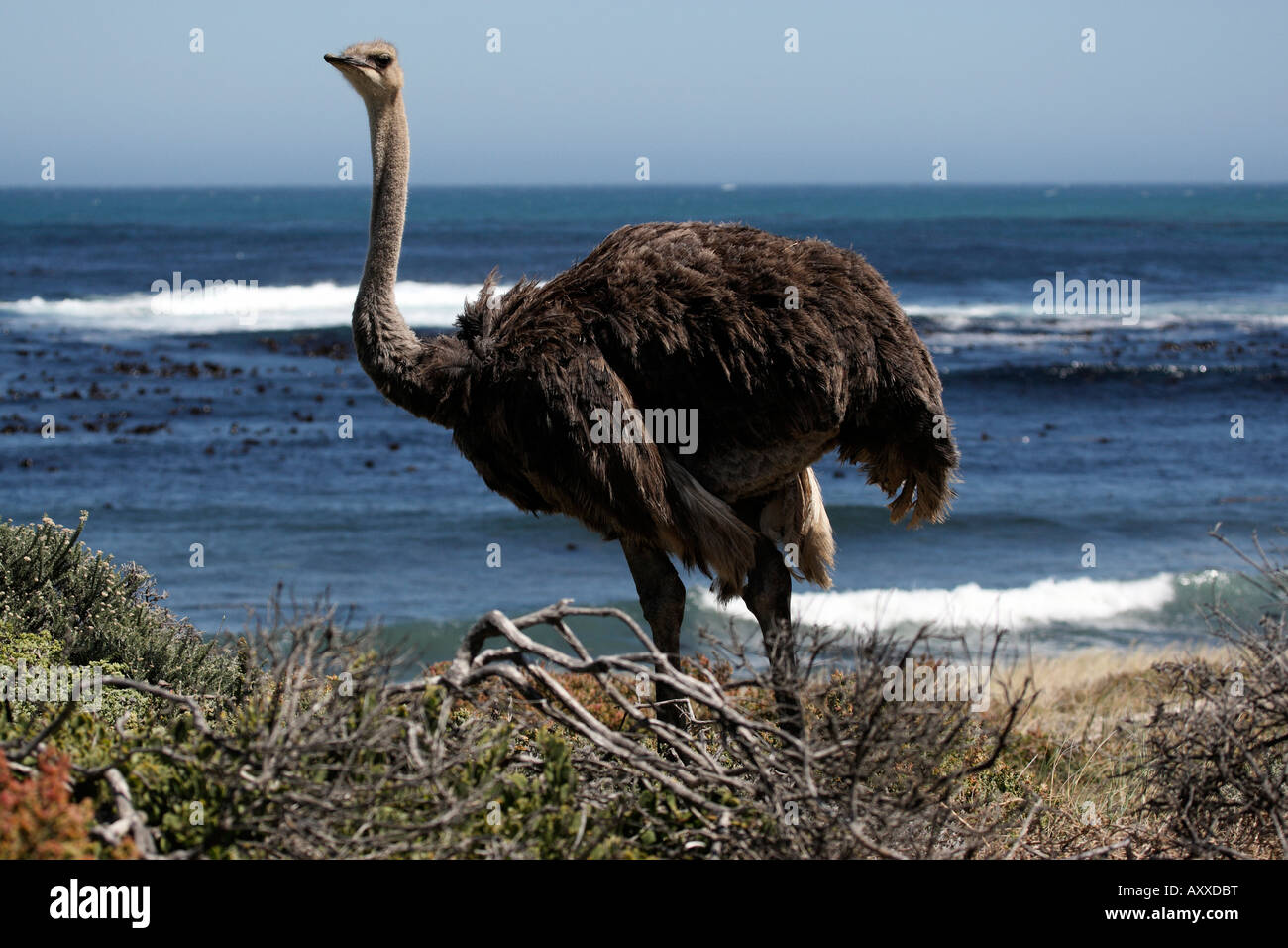 southern ostrich struthio camelus cape of good hope park cape town western cape province south africa - Stock Image