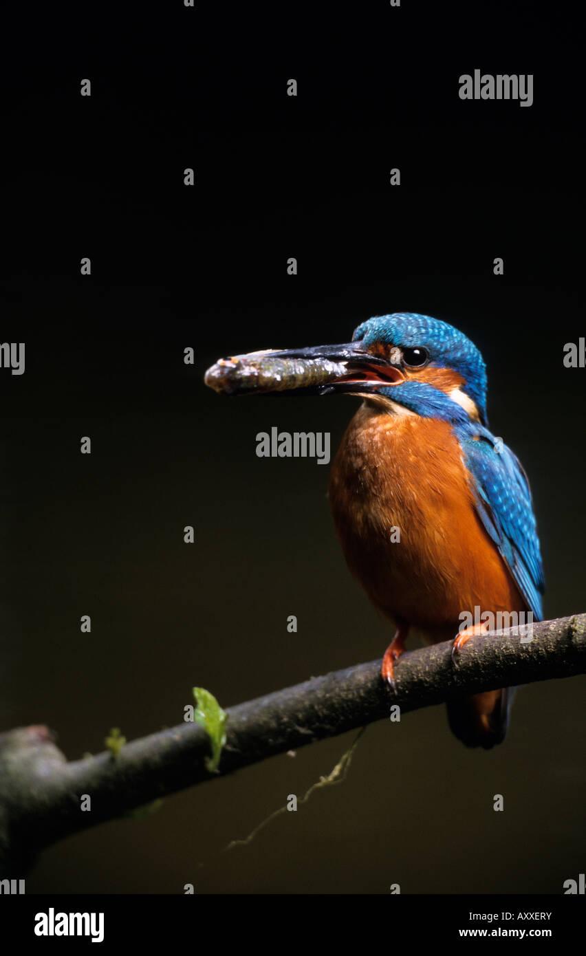 KIngfisher, (Alcedo atthis), Bielefeld, NRW, Germany - Stock Image