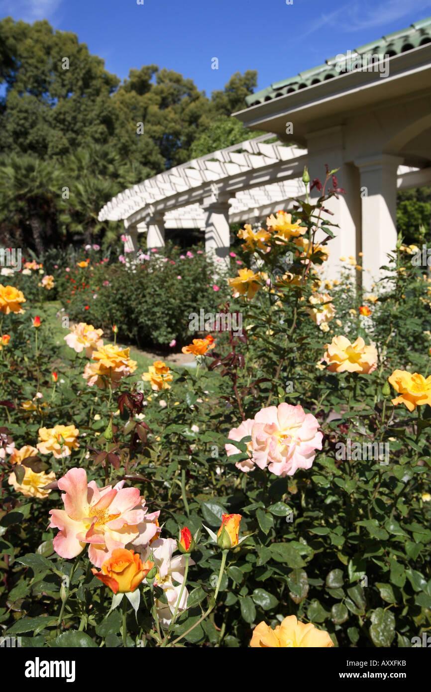 Roses Wrigley Gardens Tournament House Pasadena California Stock ...