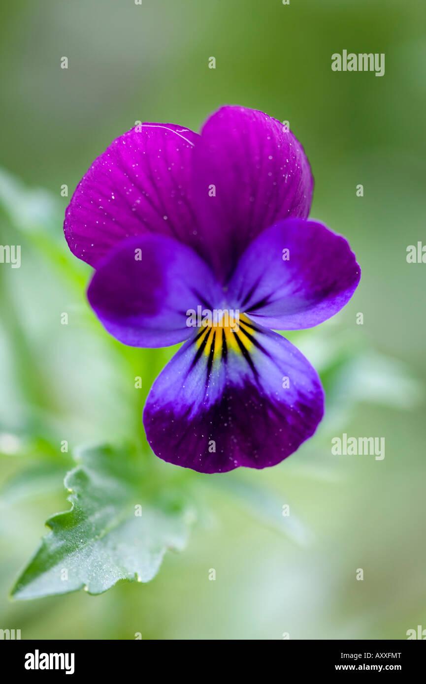 Wild Pansy, Viola tricolor, Bielefeld, NRW, Germany - Stock Image
