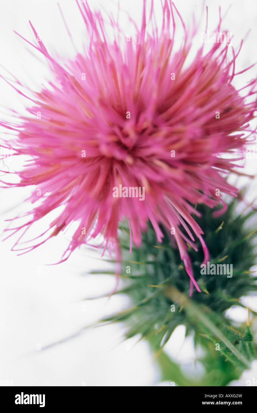 Thistle, Spear thistle, Scotch thistle, Bull thistle, Spear, Scotch, Bull, Cirsium vulgare, Pink, Cirsium, vulgare - Stock Image