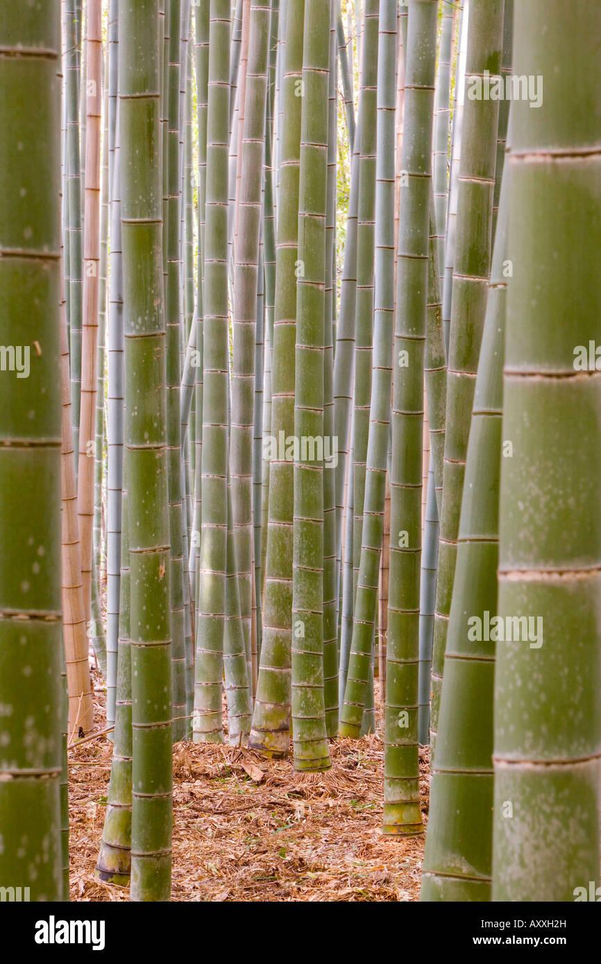 Close-up of stems, Bamboo Forest, Sagano, Ukyo Ward, Arashiyama, Kyoto, Kansai region, island of Honshu, Japan, - Stock Image