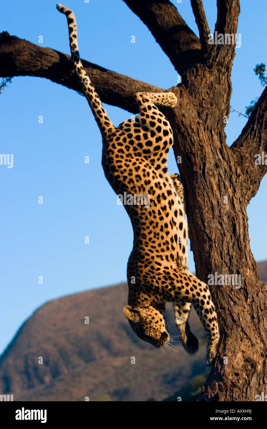 Leopard, (Panthera pardus), Duesternbrook Private Game Reserve, Windhoek, Namibia - Stock Image