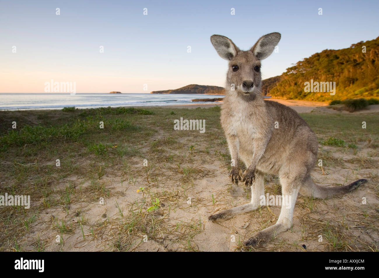 Eastern Grey Kangaroo, (Macropus giganteus), Pebbly Beach, Marramarang N.P., New South Wales, Australia - Stock Image