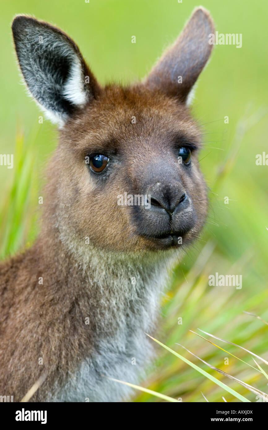 Kangaroo Island Kangaroo, (Macropus fuliginosus), Flinders Chase N.P., Kangaroo Island, South Australia, Australia - Stock Image