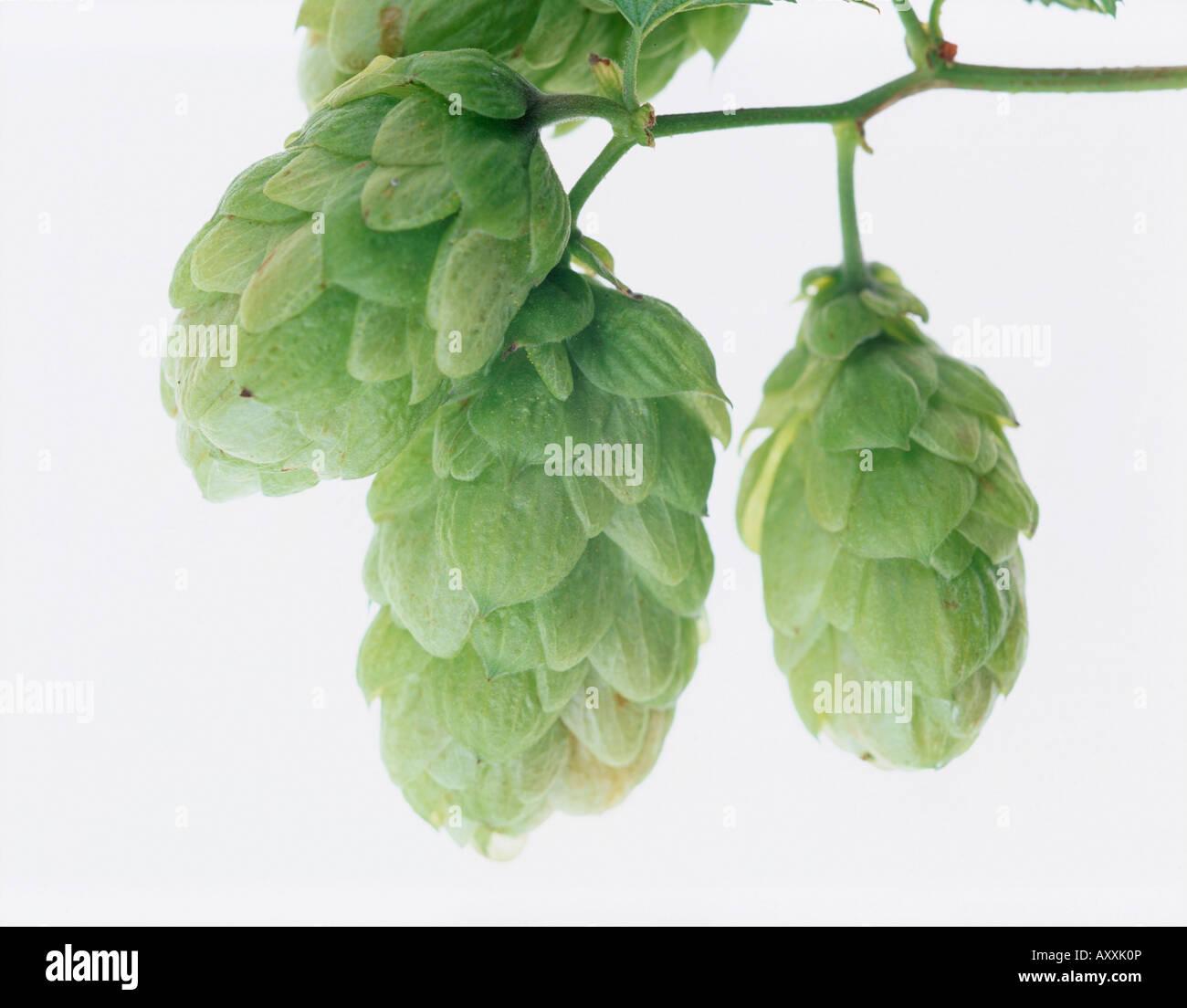 Hop, Humulus lupulus, Green, Humulus, lupulus - Stock Image