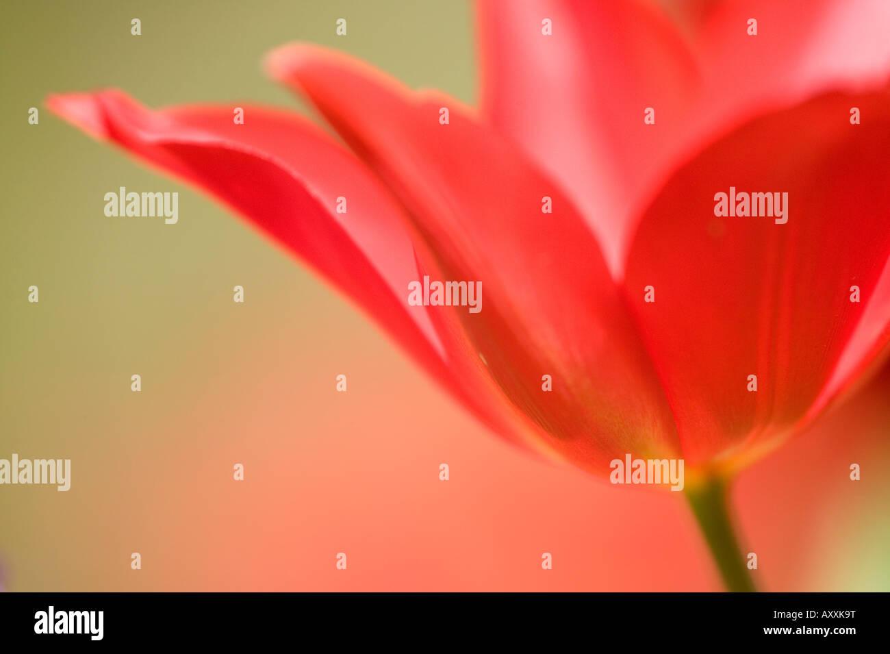 Tulip, (Tulipa spec.), Bielefeld, NRW, Germany - Stock Image