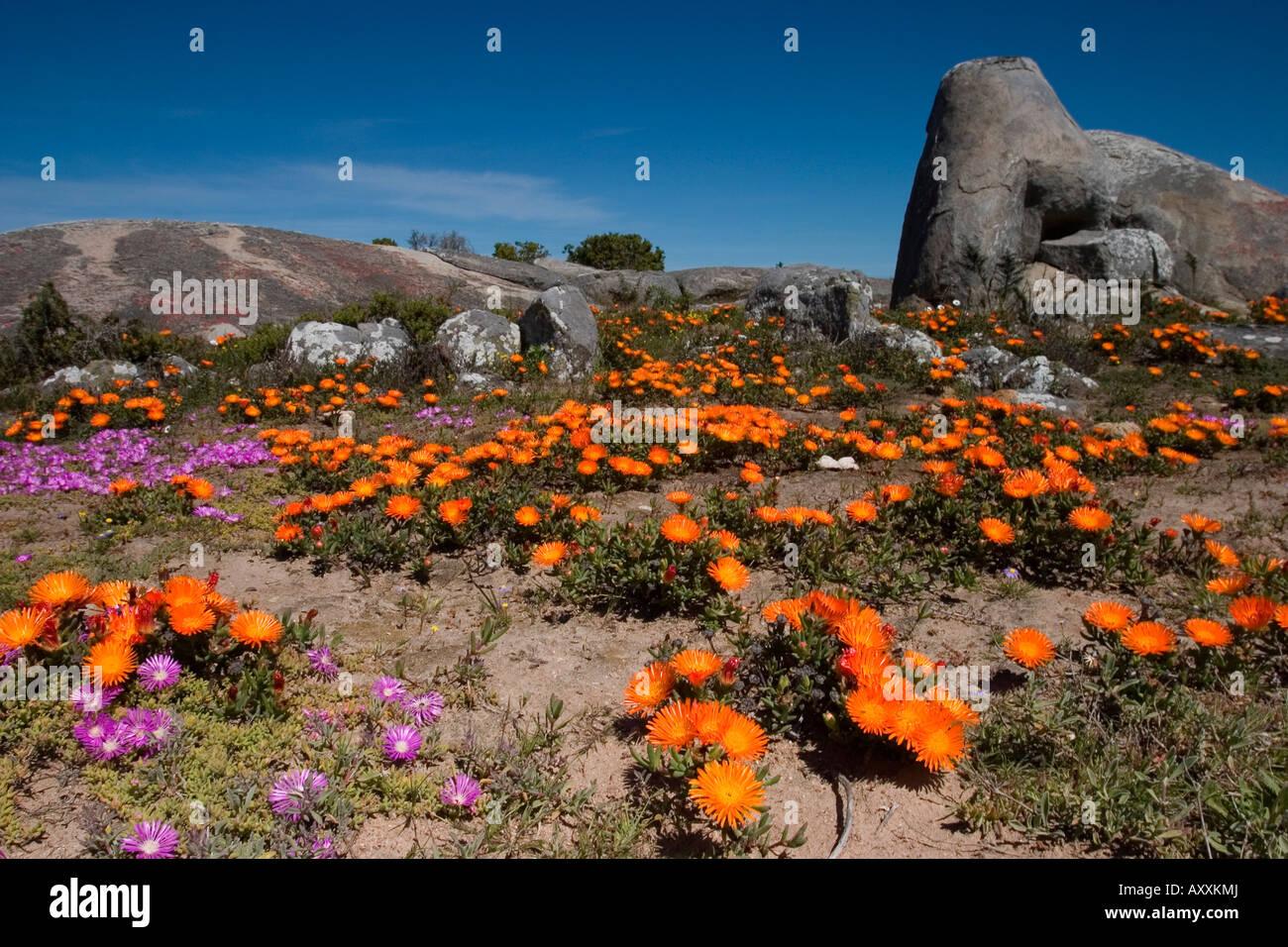 Daisy, (Asteraceae), West Coast N.P., Langebaan, South Africa - Stock Image