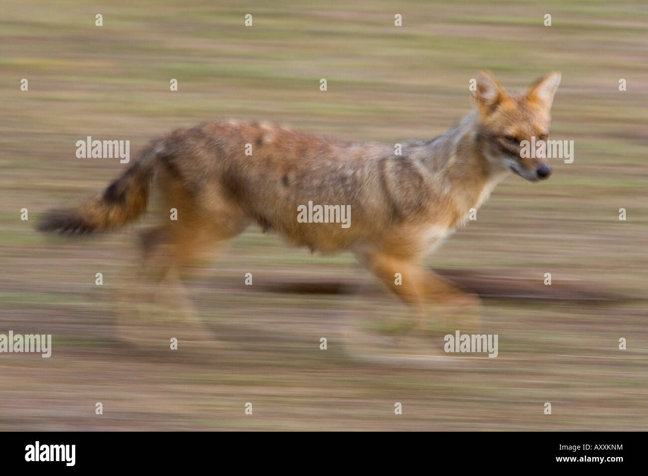 Indian Jackal, (Canis aureus), Bandhavgarh N.P., Madhya Pradesh, India - Stock Image
