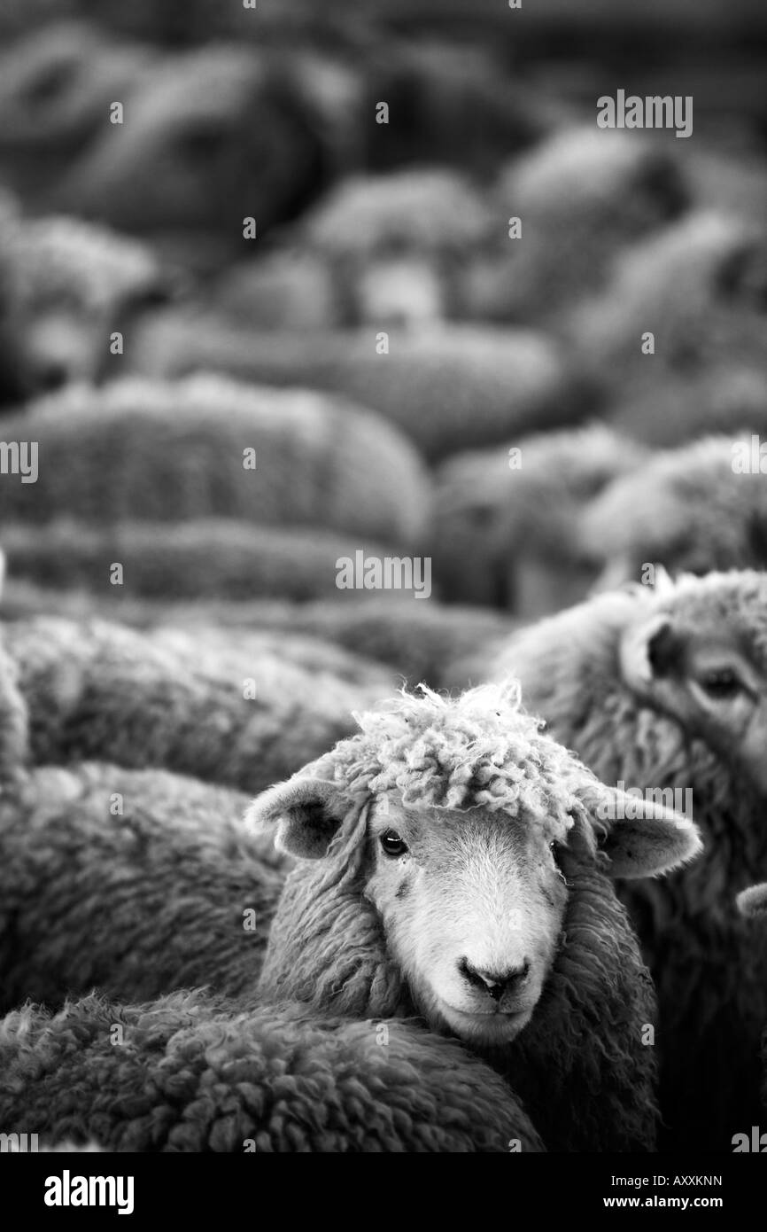 sheep pack into holding pen prior to sheering - Stock Image