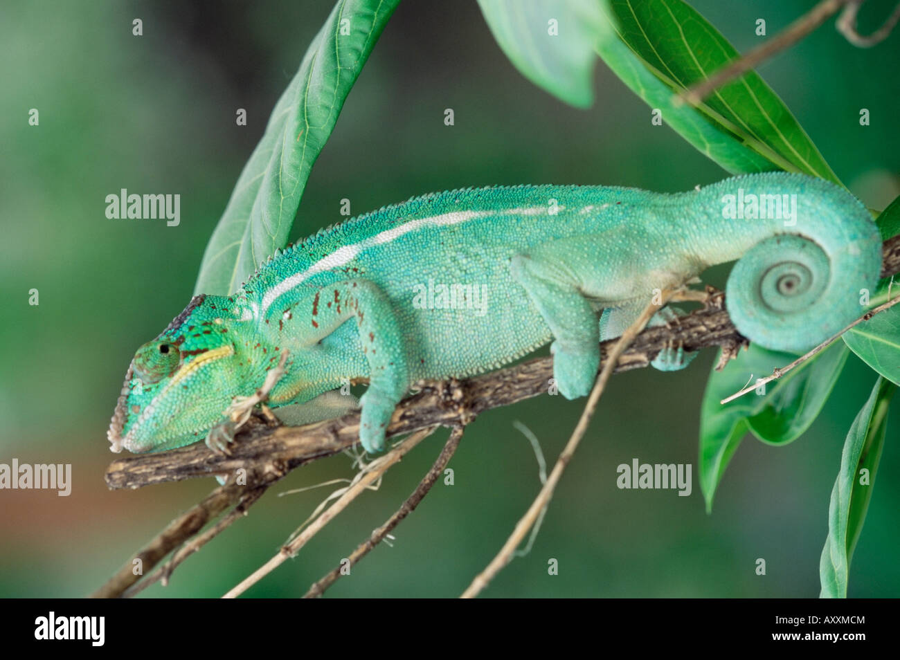 Panther chameleon on a branch - Stock Image