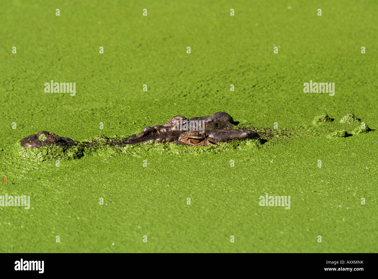 Saltwater crocodile (Crocodylus porosus), Rainforest Habitat sanctuary, Queensland, Australia, Pacific - Stock Image