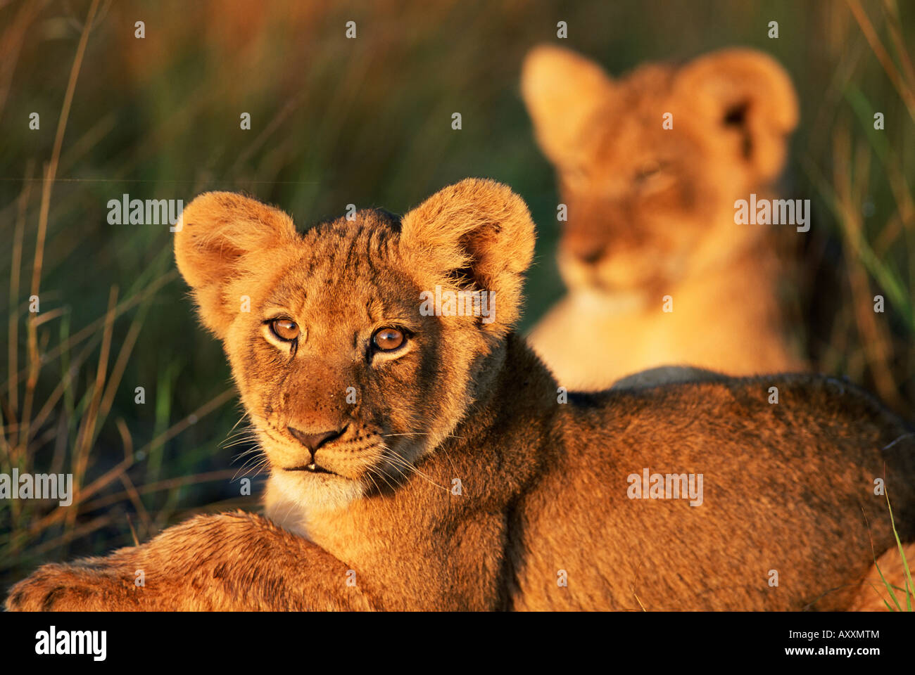 Lion cubs approximately 2-3 months old, Kruger National Park, South Africa, Africa - Stock Image