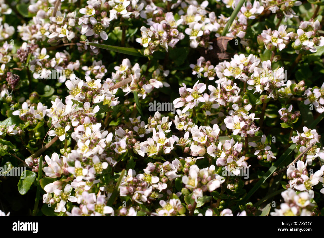 Scurvy Grass Stock Photos & Scurvy Grass Stock Images - Alamy