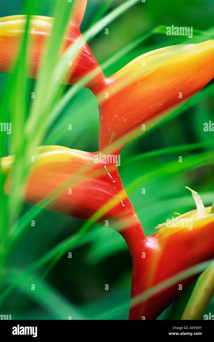 Close-up of exotic plant, Dominica, Caribbean, West Indies, Central America - Stock Image