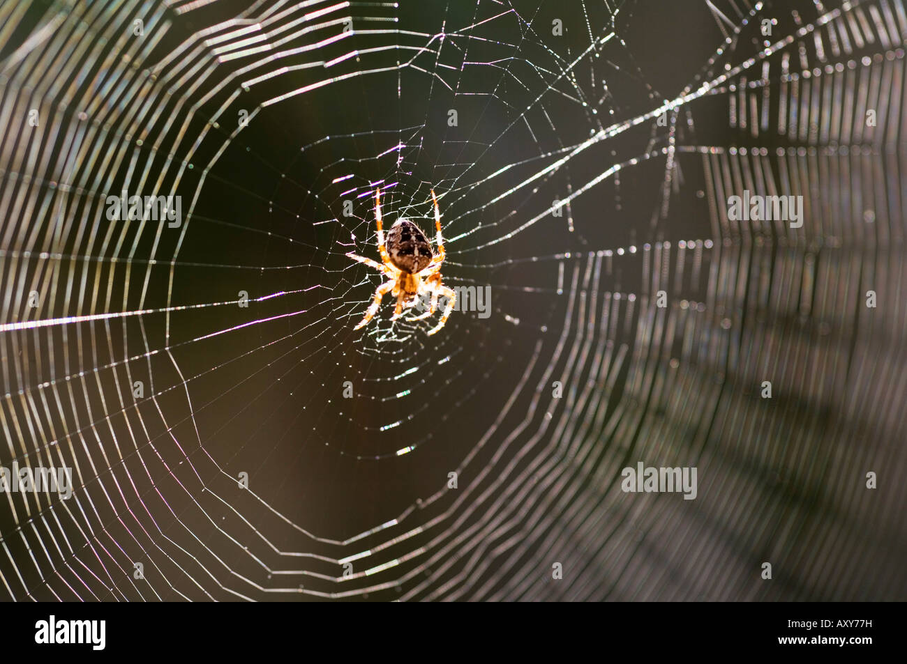 Common spider in the center of it's web - Stock Image