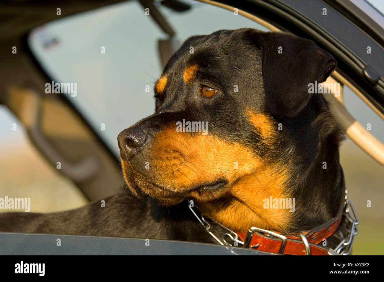 Rottweiler in car window