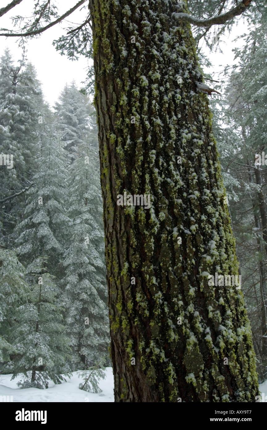 Fresh winter snow on moss on trunk bark of Red Fir tree at Crane Flat Yosemite National Park California - Stock Image