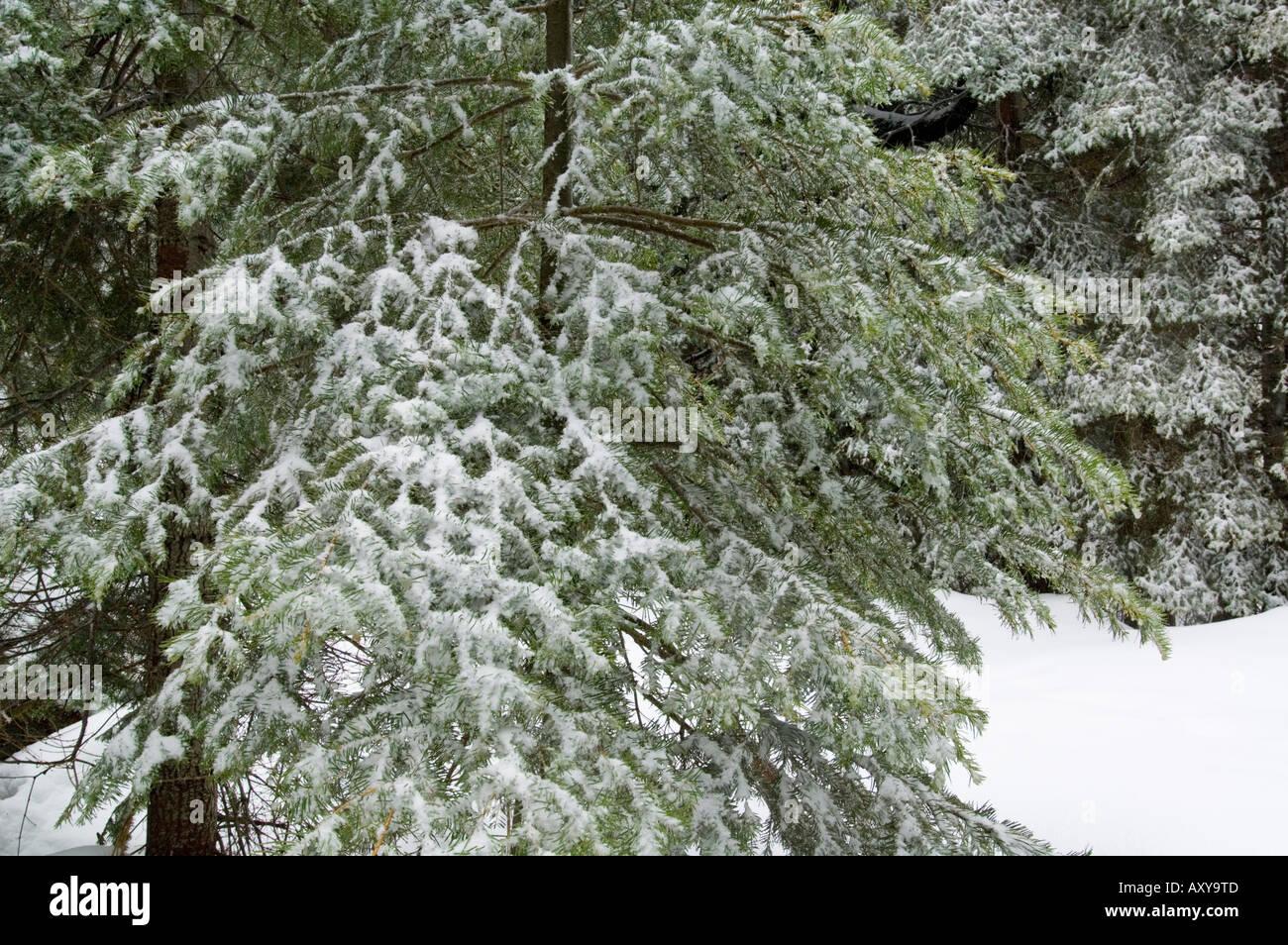 Fresh winter snow on young Fir trees at Crane Flat Yosemite National Park California - Stock Image