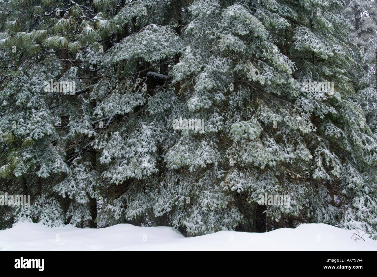 Fresh winter snow on branches of Red Fir trees at Crane Flat Yosemite National Park California - Stock Image