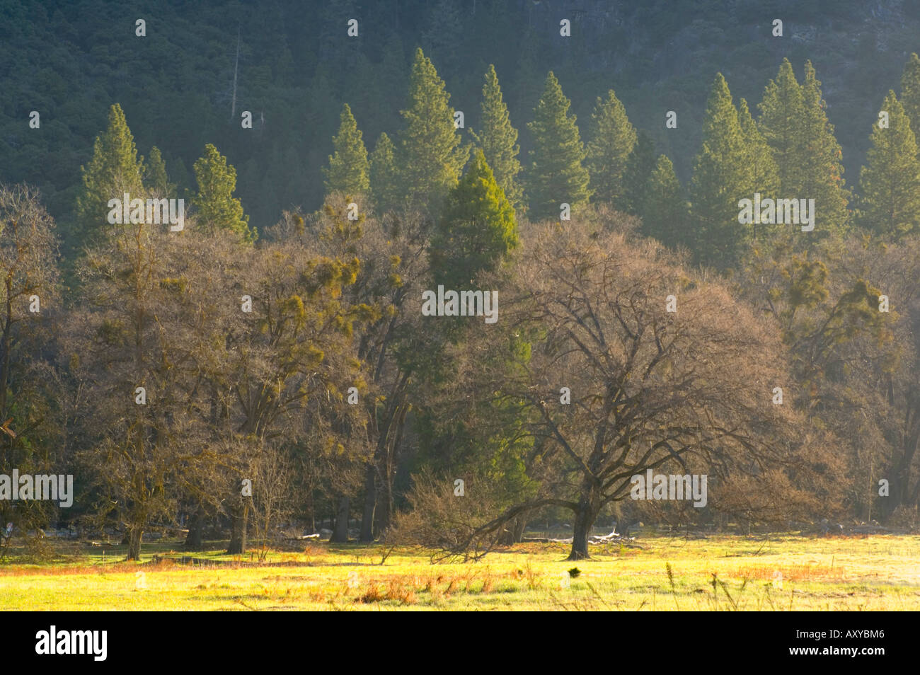 Pine Trees And Evergreen Oaks Stock Photos & Pine Trees And