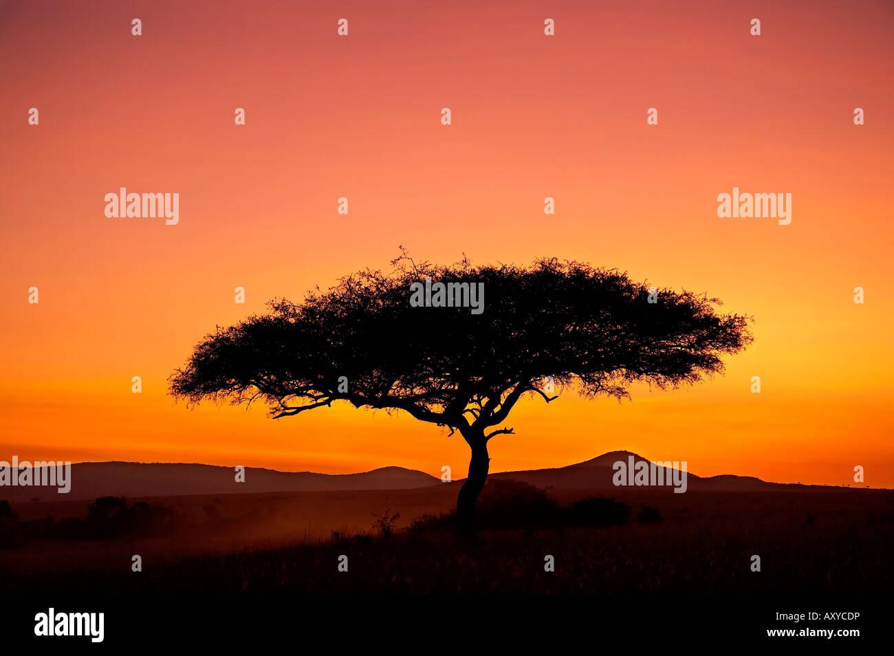 Acacia tree silhouetted at dawn, Masai Mara Game Reserve, Kenya, East Africa, Africa - Stock Image