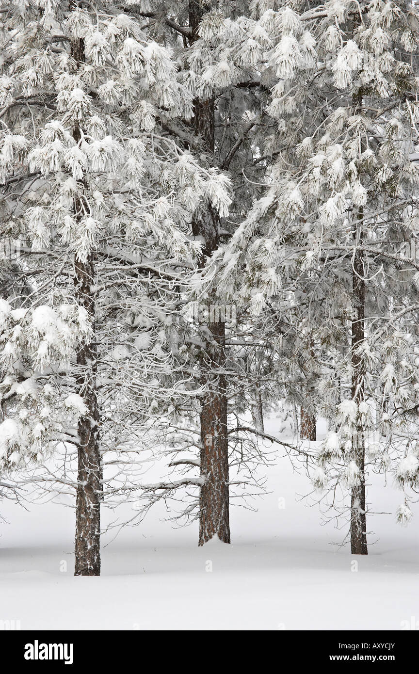 Snow-covered pine trees, Bryce Canyon National Park, Utah, United States of America, North America - Stock Image