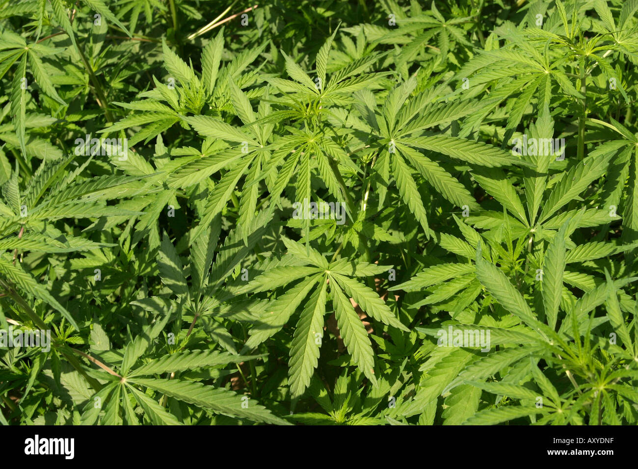 India drugs marijuana Cannabis sativa growing wild - Stock Image