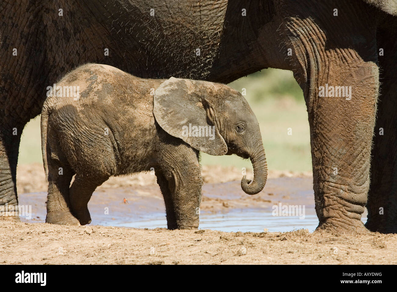 Baby African elephant (Loxodonta africana) standing by its mother, Addo Elephant National Park, South Africa, Africa Stock Photo