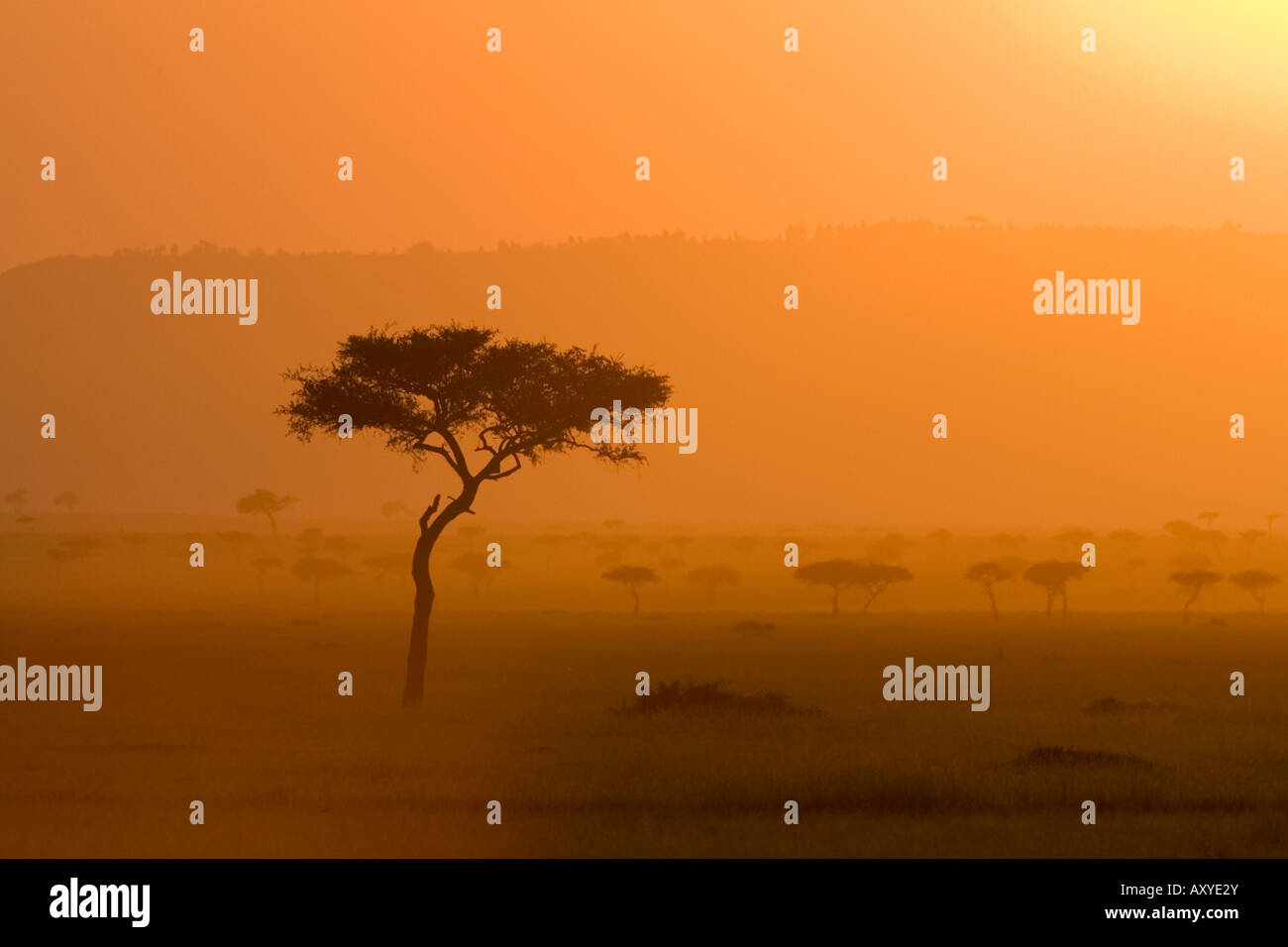 Acacia tree at sunset, Masai Mara National Reserve, Kenya, East Africa, Africa - Stock Image