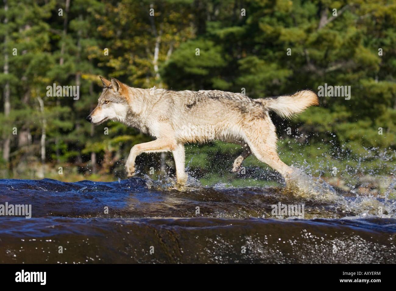 Gray wolf (Canis lupus) running through water, in captivity, Minnesota Wildlife Connection, Sandstone, Minnesota, - Stock Image