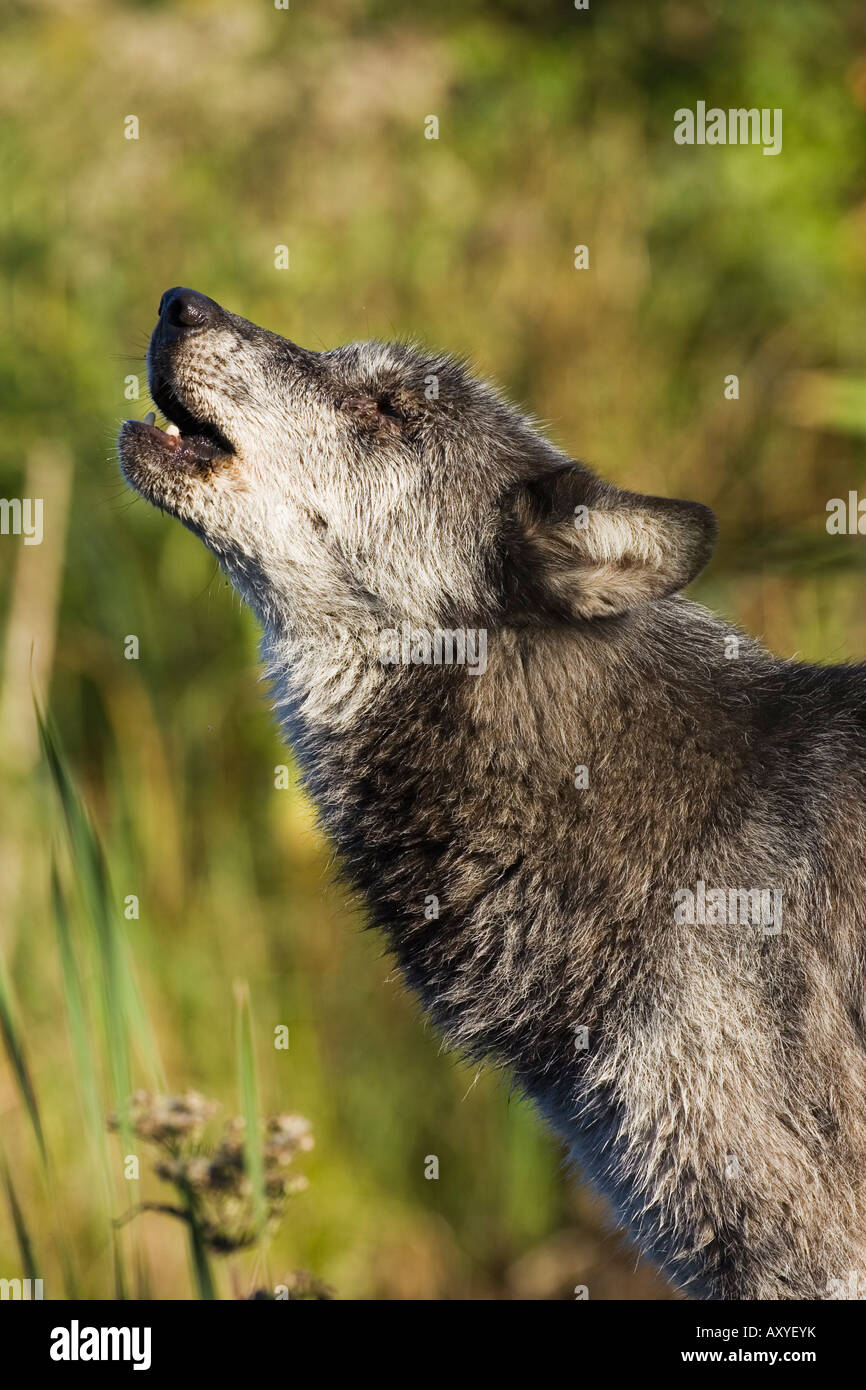 Gray wolf (Canis lupus) howling, in captivity, Minnesota Wildlife Connection, Minnesota, United States of America, - Stock Image