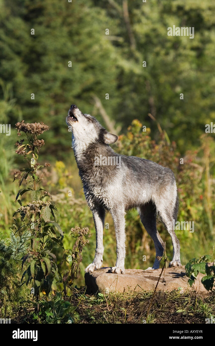 Gray wolf (Canis lupus) on a rock, howling, in captivity, Sandstone, Minnesota, United States of America, North - Stock Image