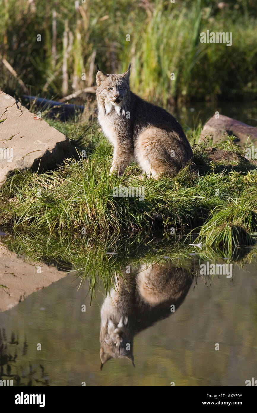 Lynx (Lynx canadensis) reflected sitting at waters edge, in captivity, Minnesota Wildlife Connection, Minnesota, - Stock Image