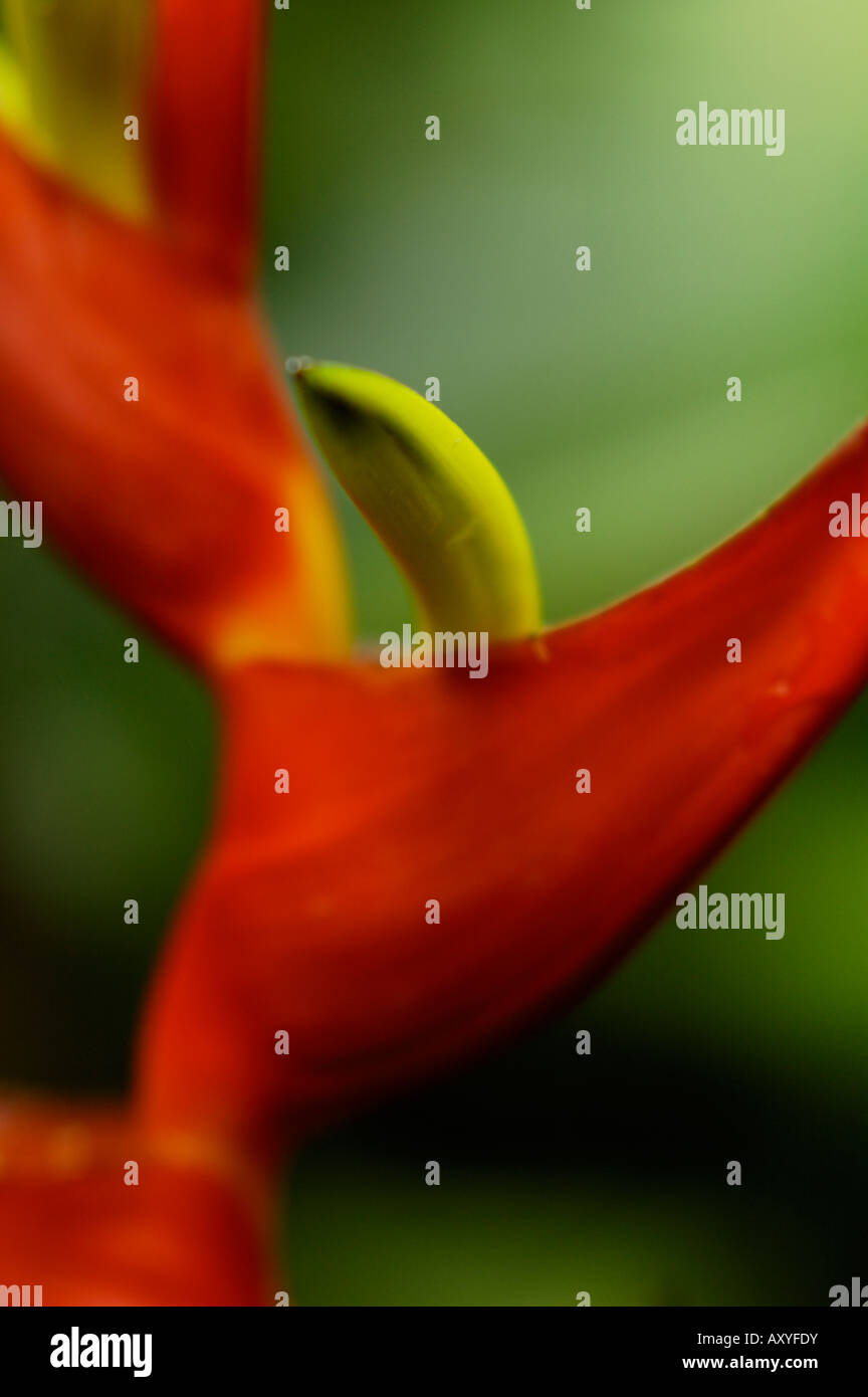 heliconia flower close-up detail (heliconia latispatha, heliconeaceae) - Stock Image